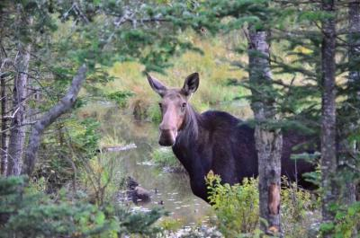 Moose By a small stream in a forest